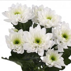 chrysanthemum bush white