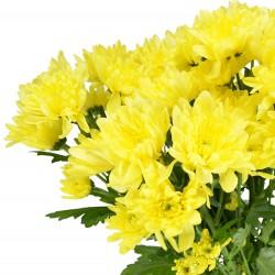 chrysanthemum shrub yellow